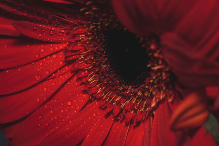 Close-up of raindrops on red flower