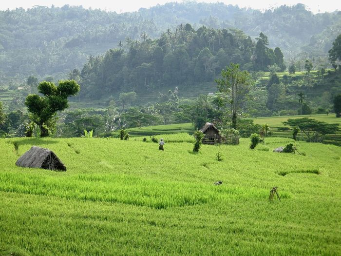 Agriculture Field Farm Landscape Nature Tree Mountain Green Color Rice Paddy Lush Foliage Growth Rice - Cereal Plant Outdoors Rural Scene Beauty In Nature Terraced Field Scenics