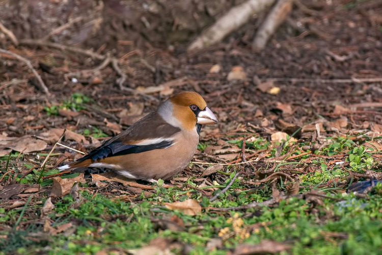 The hawfinch (Coccothraustes coccothraustes) on the lawn in an garden Animal Themes Animal Wildlife Animals In The Wild Bird Close-up Day Field Hawfinch (Coccothraustes Coccothraustes) Nature No People One Animal Outdoors