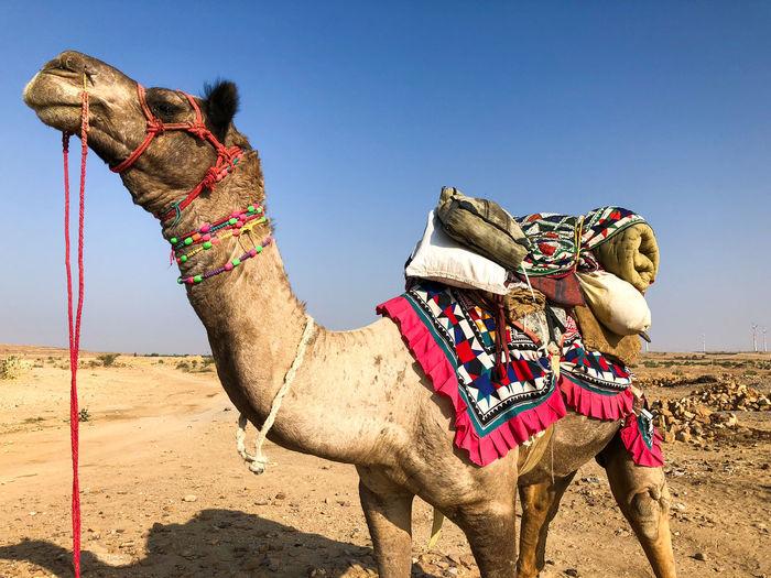 Desert India Sheepherd Travel Animal Themes Camel Desert Domestic Animals Jaisalmer Obrigado One Animal Outdoors Rajasthan Sand Sand Dune Sheep Sunset Thar Desert Working Animal