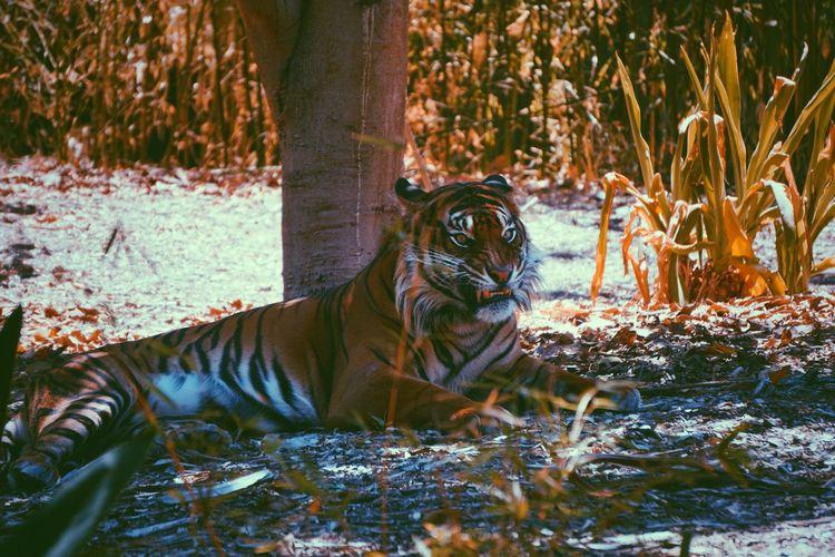 Animal Themes Animal Animal Wildlife Animals In The Wild One Animal Vertebrate Mammal Cat Big Cat Feline Tiger Carnivora Outdoors Day Nature