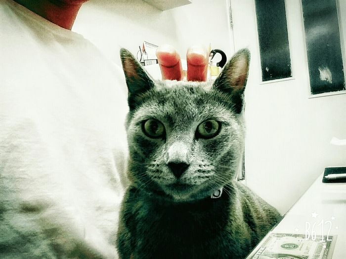 What the heck is that over my head~!? :) My Cat Russian Blue Cat Rudolph 🎅 Eyemcat