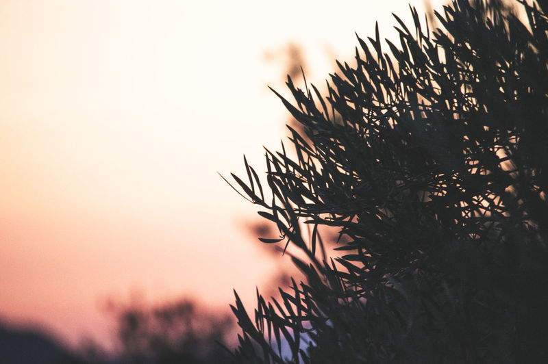 Close-up of silhouette pine tree against sky during sunset