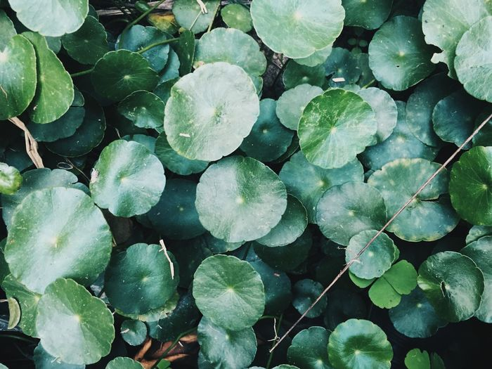 Backgrounds Beauty In Nature Close-up Day Flower Flower Head Fragility Freshness Full Frame Green Color Growth High Angle View Leaf Lily Pad Nature No People Outdoors Plant Water