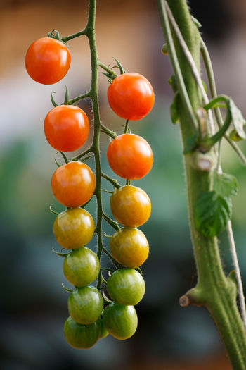 Close-up of tomatoes growing outdoors