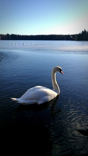 Swan Swans Animal Themes Animals In The Wild Joutsen Mobile Photography Helsinki,finland Smart Phone Vousair White Landscape Landscape_Collection Bird Photography Bird Peacful Day Nature Nature Photography Animals Animal Wildlife Animals Posing Birds Of EyeEm  Full Length Helsinki Huaweiphotography Outdoors EyeEmNewHere