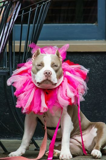 Portrait On Pit Bull Terrier Wearing Tutu