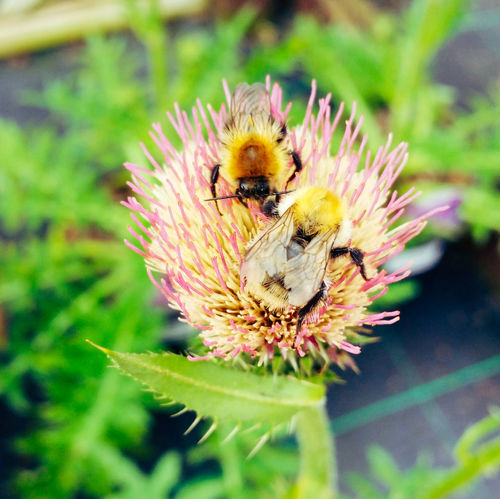 Let's 'Bee' Friends! Wildlife & Nature Wildlife Photography Beauty In Nature Outdoors Nature EyeEmSelect Plants EyeEm Selects Bees Flower Head Flower Bee Pollination Bumblebee Buzzing Insect Honey Bee Yellow Close-up Thistle Pollen Blooming Symbiotic Relationship Wildflower Single Flower