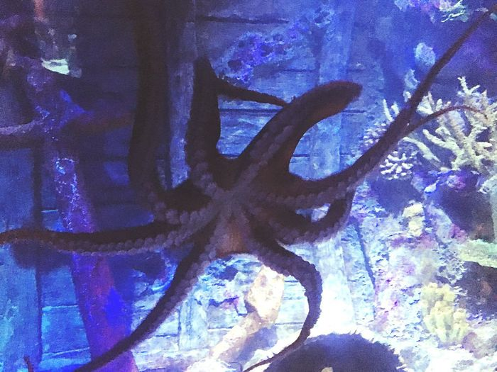 Animal Wildlife Animal Themes Animal No People Animals In The Wild Sea Swimming Nature Underwater Sea Life Marine One Animal Water Close-up Blue Tree UnderSea Animals In Captivity Plant Octopus Octopus Tentacle Tentacle Aquarium Aquarium Life Aquarium Photography
