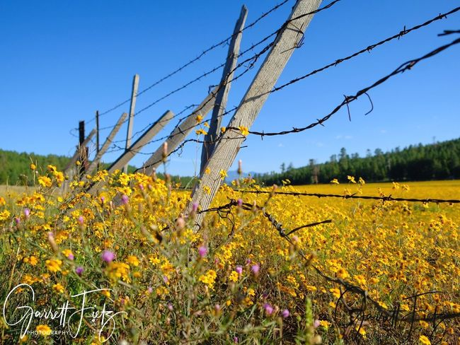 Flower Head Flower Clear Sky Rural Scene Blue Tree Field Agriculture Uncultivated Yellow Wildflower Plant Life Blossom
