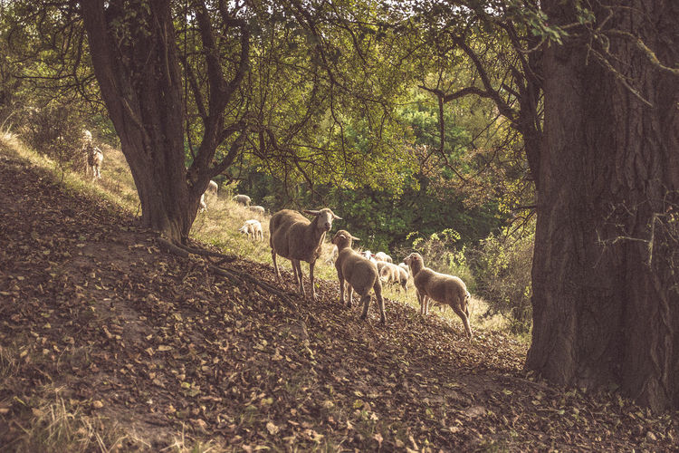 Animal Themes Domestic Animals Field Flock Of Sheeps Full Length Green Color Herbivorous Livestock Mammal Nature Non-urban Scene Solitude Southern Germany Tranquil Scene Tranquility Tree Tree Trunk WoodLand Zoology