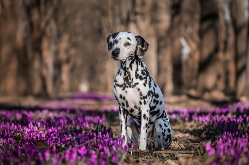 Dalmatian Dog Sitting On Purple Flowers