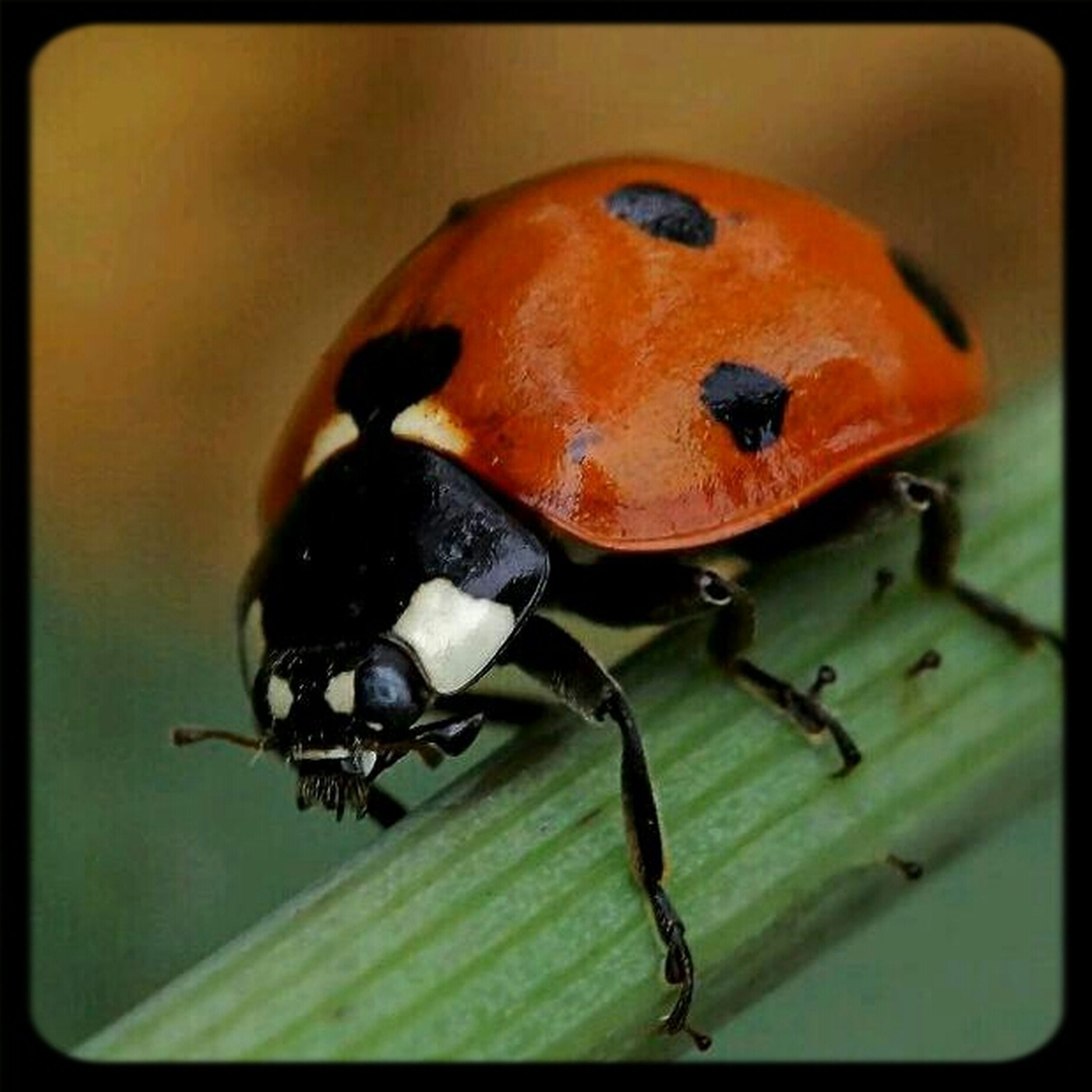 insect, transfer print, close-up, auto post production filter, animal themes, one animal, wildlife, ladybug, animals in the wild, focus on foreground, indoors, high angle view, no people, orange color, selective focus, day, full length, red, nature