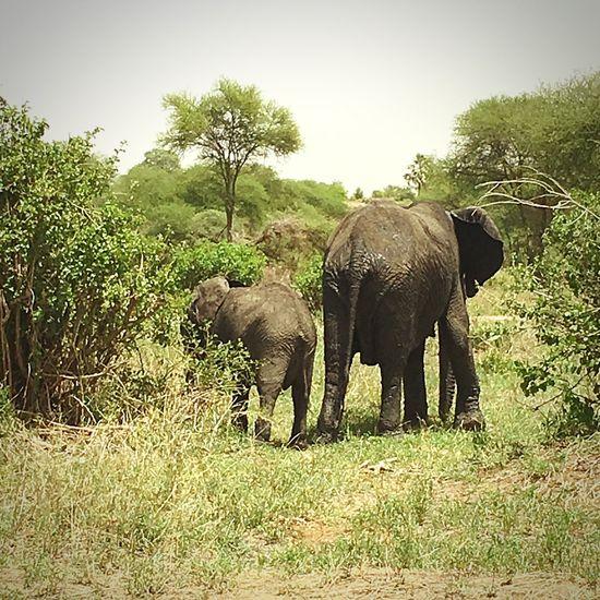 Tansania 🇹🇿 Serengeti National Park African Elephant Animals In The Wild Safari Nature