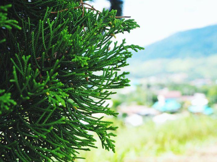 Pine Tree Close-up Tree Close-up Sky Green Color Plant Plant Life
