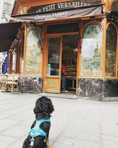 Cavalier King Charles Spaniel France Paris Travel Bakery Croissant Dog Dog Friendly Domestic Animals Food French Pets Puppy Travel Destinations