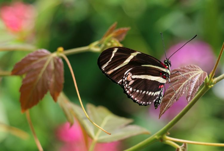 Butterfly On Flower Zebra Longwing Butterfly Heloconia Flower Perching Butterfly - Insect Leaf Insect Close-up Animal Themes Plant
