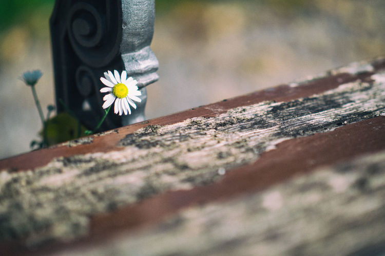Bench Close-up Daisy Day Flower Flower Head Flowering Plant Fragility Freshness Growth Improbable Life Nature Outdoors Peeping Plant Vulnerability  Wood - Material