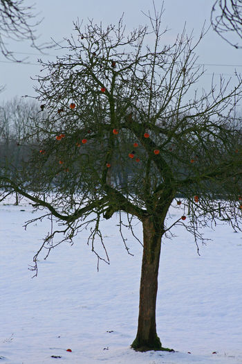 Apple Tree In Winter Beauty In Nature Branch Close-up Day Food Food And Drink Freshness Fruit Growth Nature No People Outdoors Rural Scene Sky Tranquility Tree Water Winter Apple EyeEm Diversity