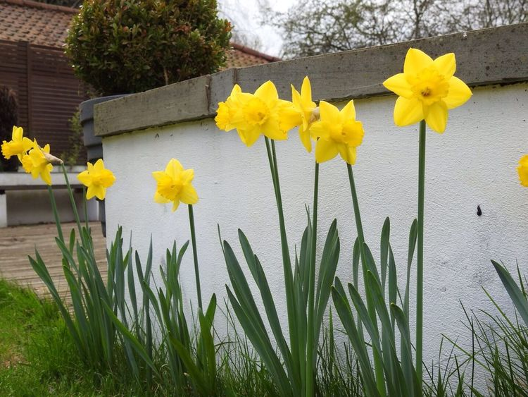 Daffodils yellow Daffodil Beauty In Nature Flower Spring Petal Flower Head Nature No People