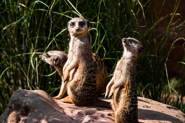 Meerkats on rock at zoo