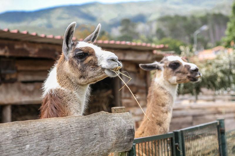 Two llamas at farm