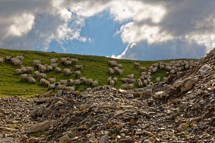 Sheeps at the Transalpina Beauty In Nature Cloud - Sky Day Environment Field Grass Herd Land Landscape Nature No People Non-urban Scene Outdoors Plant Rock Rural Scene Scenics - Nature Sheep Sky Solid Stone Wall Tranquil Scene Tranquility