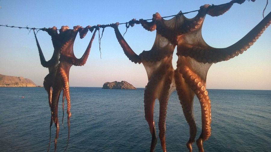 Octopus Octopus