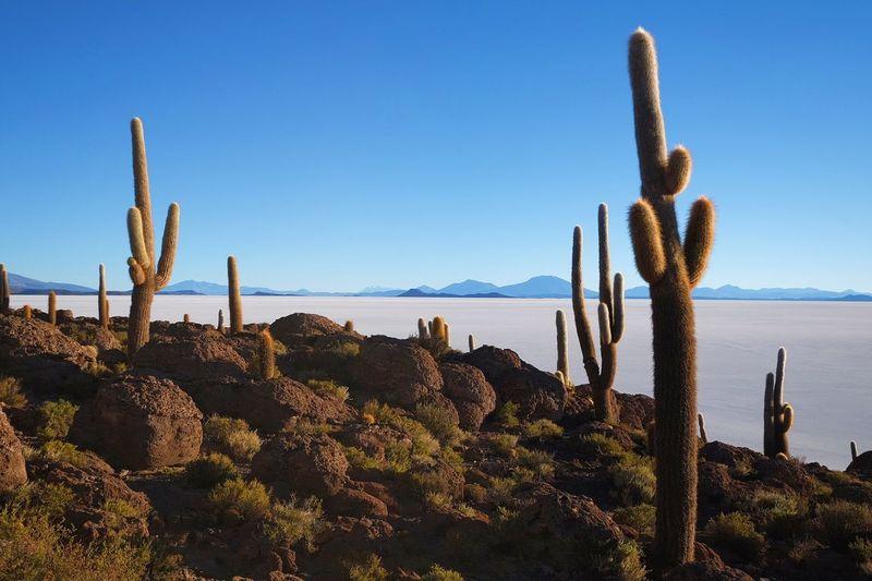 Cactus Island Cactus Desert Adventure Bolivia Sunny Incahuasi Salt Flat Island Thorn Landscape Scenics No People Outdoors Beauty In Nature Wilderness Arid Climate Travel Destinations