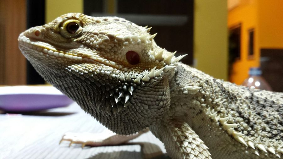 Close-Up Of Bearded Dragon Against Buildings