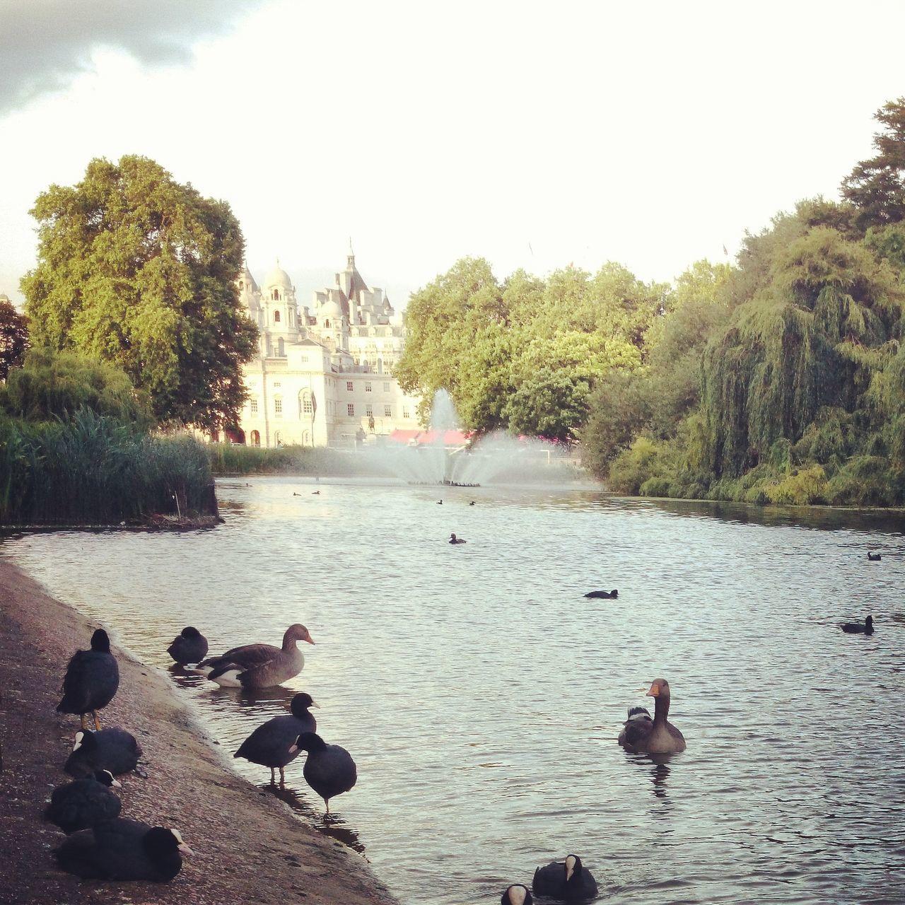 Duck swimming in Saint James Park