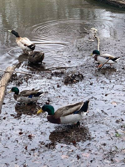 Water Animal Animal Themes Vertebrate Bird Animal Wildlife Animals In The Wild Group Of Animals Duck High Angle View Nature Lake Wet Day Poultry Mallard Duck Swimming Floating On Water No People Water Bird