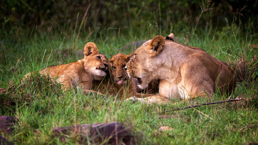 View of lion and cubs