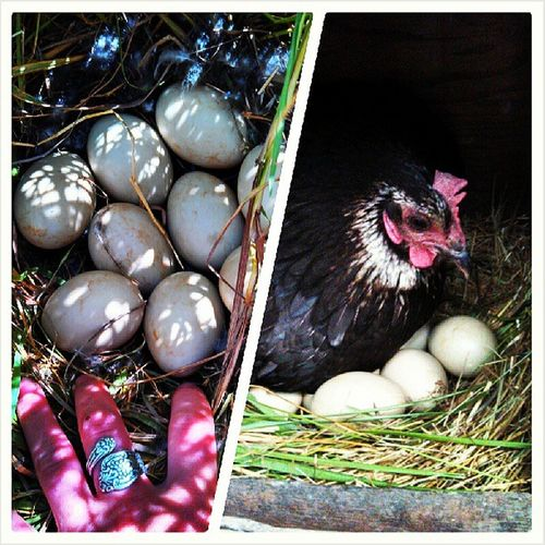 Found a duck nest while cutting the hay. Its sad to mess with nature, but I can at least provide a foster mom...even if she's a different species ! Duckies Nest Fostermom Blackiethehen fingerscrossed iwant ducklings quackquack countryliving hayseason pottervalley