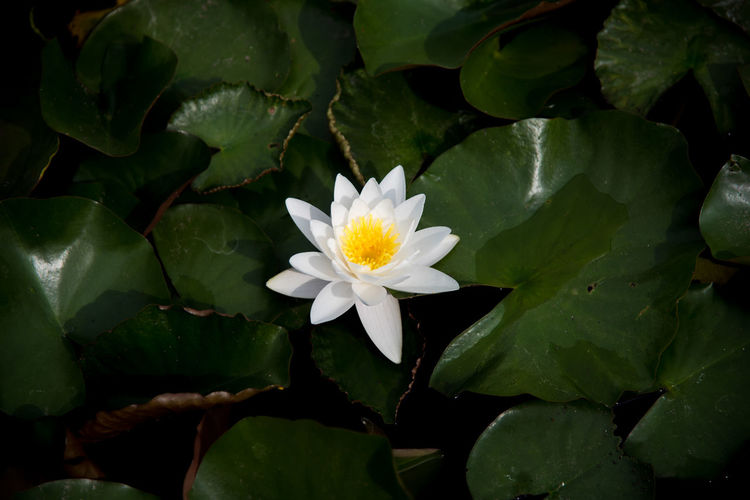 lotus flower Beauty In Nature Floating On Water Flower Leaf Lotus Water Lily Nature Plant White Color First Eyeem Photo