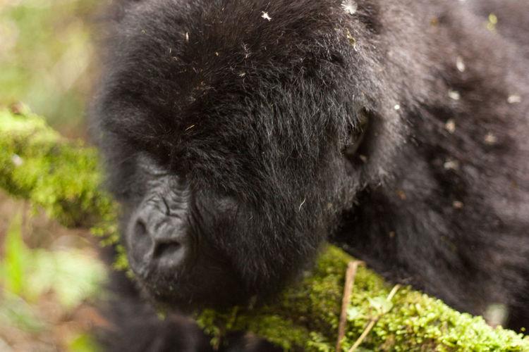 Close-up of gorilla at mgahinga gorilla national park