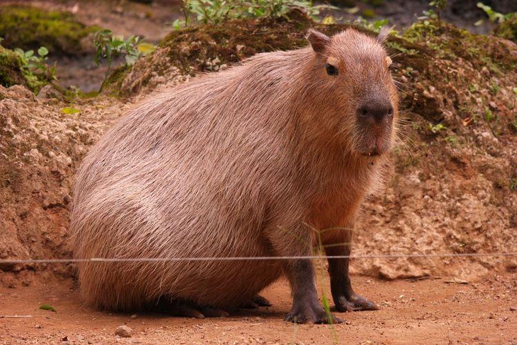 Brown capybara standing on the ground