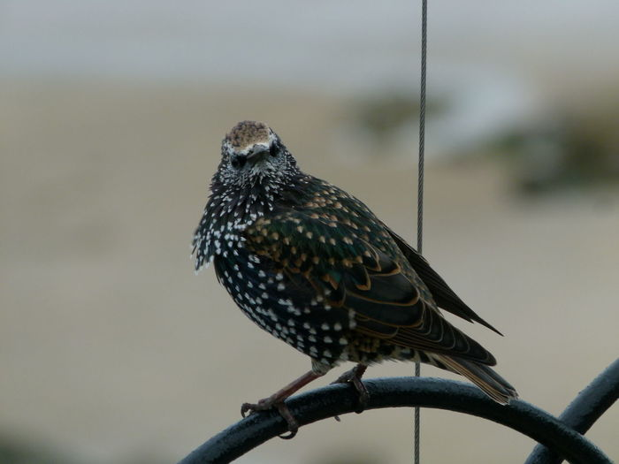 Close-up of starling perching on metal