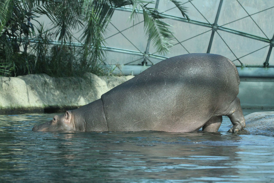 Animal Themes Dive In Hippo Hippopotamus One Animal Refreshing Step In Swimming Water Zoology