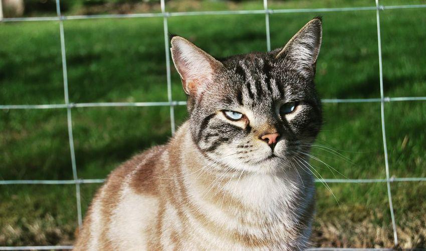 A grumpy Bengal Pets Portrait Feline Domestic Cat Close-up Chainlink Fence Leopard Yellow Eyes Cat Family Green Eyes Whisker Kitten Cat