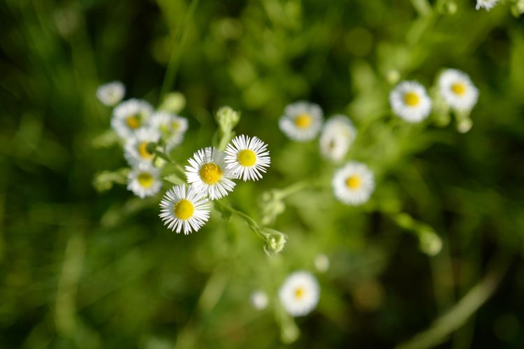 Flowering Plant Flower Plant Freshness Fragility Vulnerability  Beauty In Nature Growth Petal Inflorescence White Color Flower Head Close-up Nature Focus On Foreground Daisy No People Pollen Outdoors Day