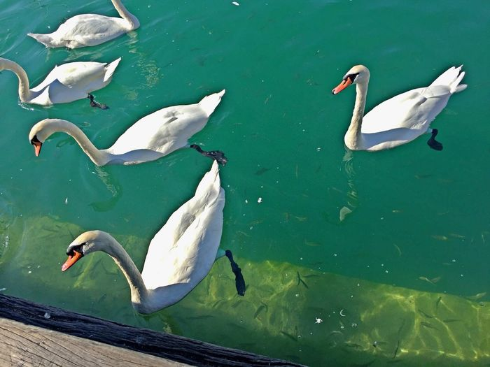 Animal Wildlife Animals In The Wild Animal Themes Group Of Animals Animal Water Lake Swimming Swan No People High Angle View White Color Marine Water Bird