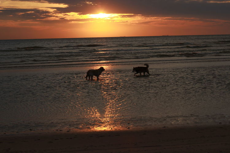 Animal Themes Beach Beauty In Nature Dog Domestic Animals Horizon Over Water Nature Orange Color Pets Sea Shore Sky Sun Sunset Water