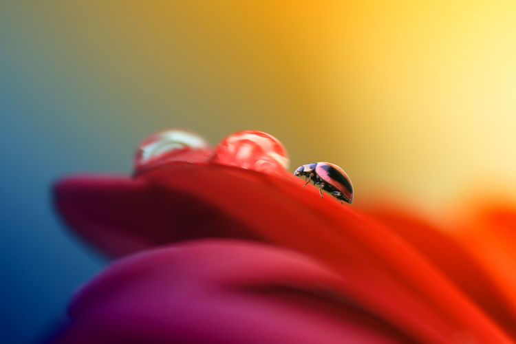 ladybug and dew above the flower Animal Animal Themes Animal Wildlife Animals In The Wild Beauty In Nature Close-up Colored Background Finger Flower Flowering Plant Fragility Human Body Part Insect Invertebrate One Animal One Person Petal Red Selective Focus Studio Shot Vulnerability
