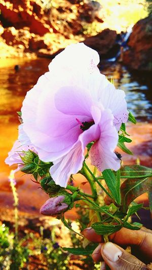 Flower Native Hibiscus Australian Outback WA Tom Price Sep'2016