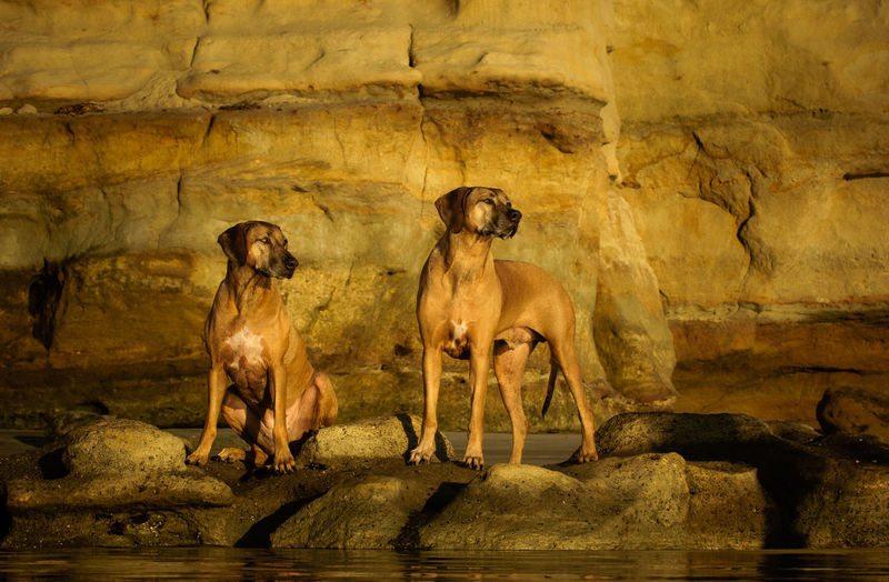 Rhodesian Ridgeback dogs standing on rocks Animal Dog Pet Rhodesian Rhodesian Ridgeback Ridgeback Breed Outdoors Solid Rock No People Rock - Object Sitting Two Animals Domestic Animals Day Full Length Afternoon Golden Hour Canine