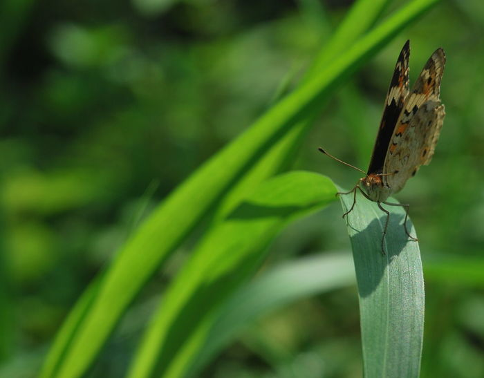 Animal Themes Animal Wildlife Animals In The Wild Beauty In Nature Buterfly Butterfly - Insect Close-up Day Focus On Foreground Green Color Growth Insect Leaf Nature No People One Animal Outdoors Plant Spread Wings