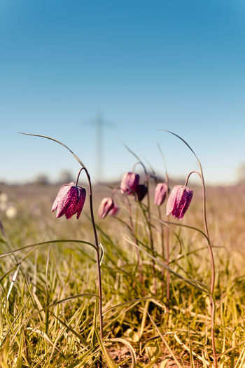 Bright purple chequered lilies, fritillaria meleagris or chess flowers blooming in the lush meadow.