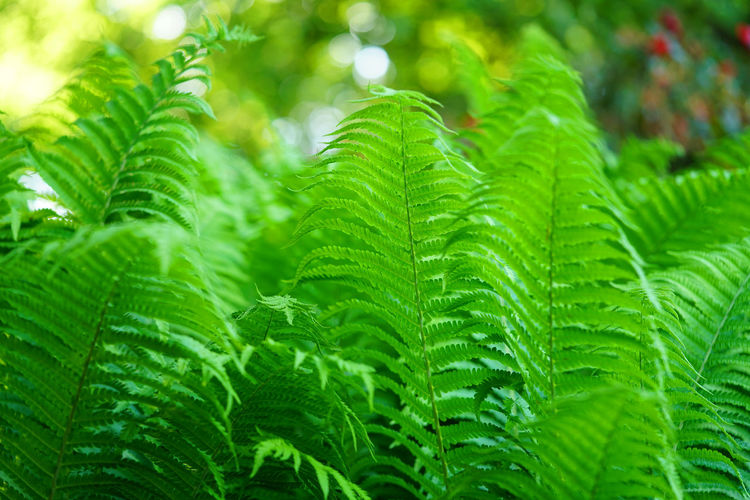 Beautiful green fern in the Teutoburger Wald Leaf Green Color Plant Part Plant Growth Beauty In Nature Nature Close-up Freshness No People Day Focus On Foreground Fern Tree Backgrounds Outdoors Lush Foliage Selective Focus Tranquility Foliage Rain Leaves Rainforest Dew Teutoburger Wald