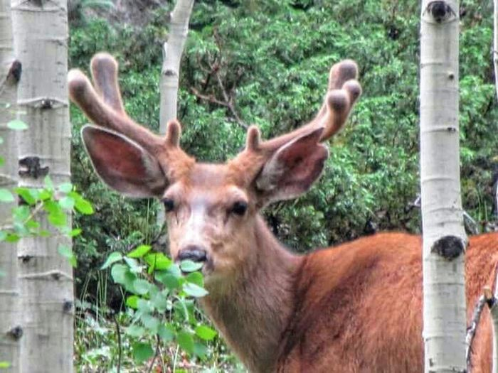 Check This Out Hello World I'm Hiding Behind This Leaf Silverton Colorado Nature Wildlife Deer